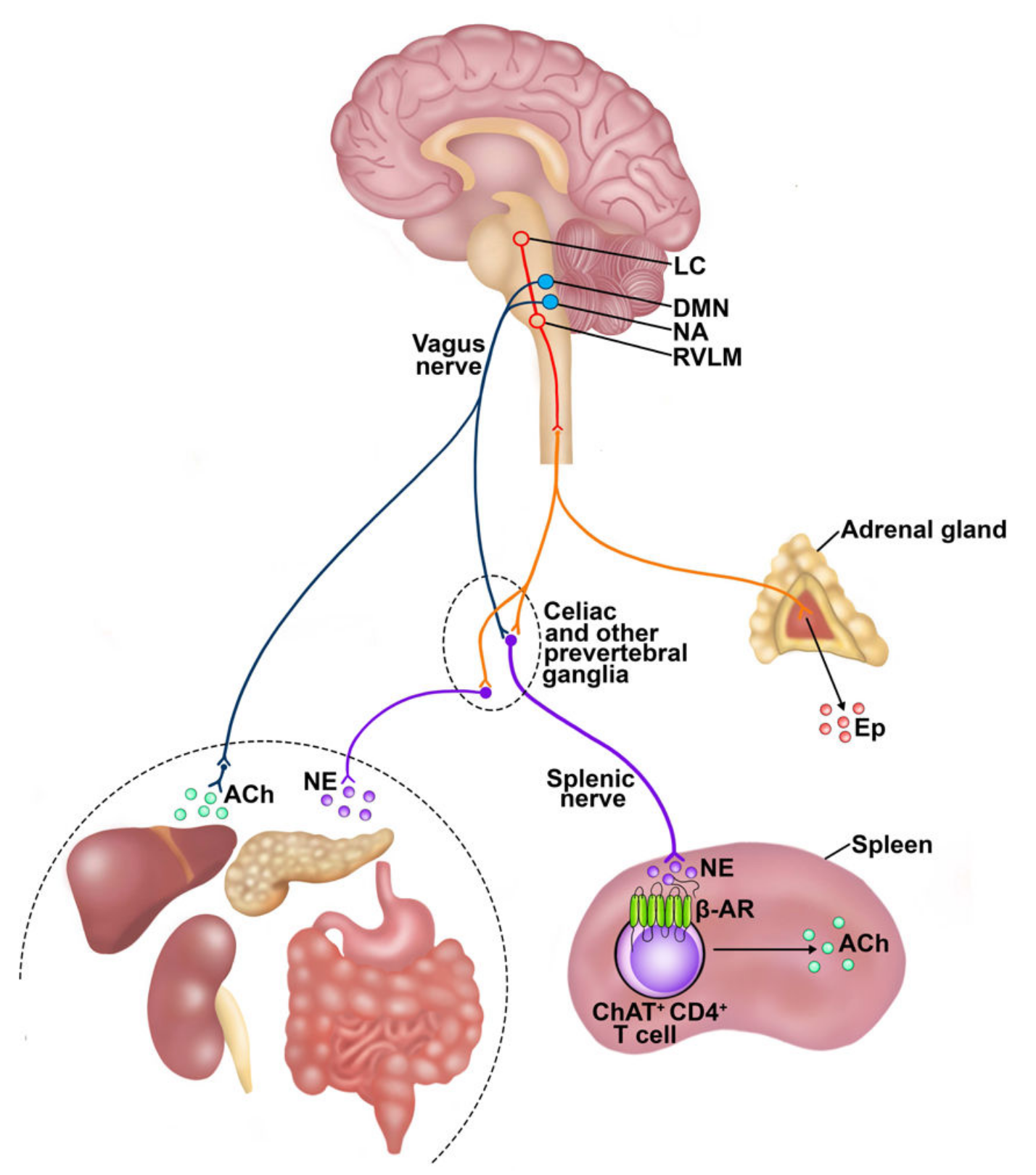 EFFERENT AUTONOMIC NEURONS